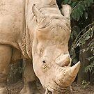 White Rhino  by Tracey  Dryka