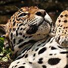 Jaguar  by Tracey  Dryka