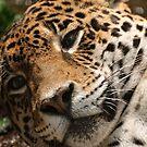 Jaguar -Louisville Zoo by Tracey  Dryka