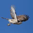 Cooper's Hawk by tomryan