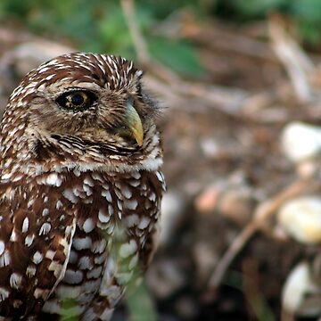 Young Burrowing Owl by ginatheloca