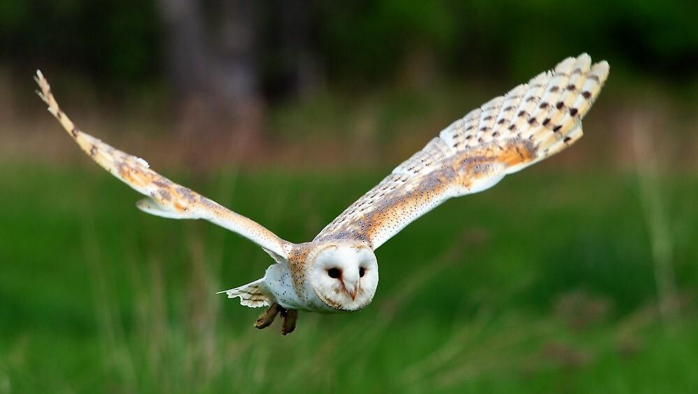 Quot Barn Owl In Flight Quot By Nancy Barrett Redbubble
