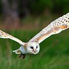 Barn Owl in Flight  by Nancy Barrett
