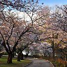 Sakura:  Cherry Tree Grove by Nancy Barrett