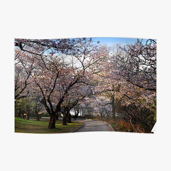 Sakura:  Cherry Tree Grove Poster