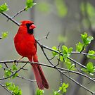 Northern Cardinal by Nancy Barrett
