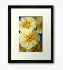 Yellow Primula Flowers Framed Print