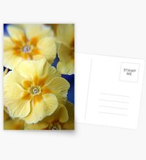 Yellow Primula Flowers Postcards