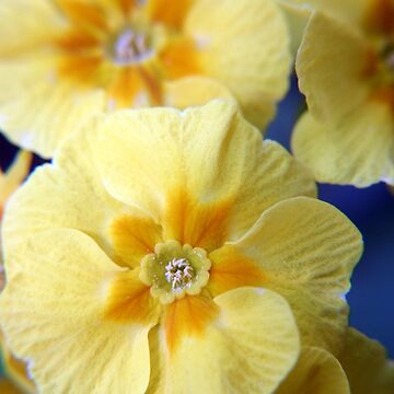 Yellow Primula Flowers by InspiraImage