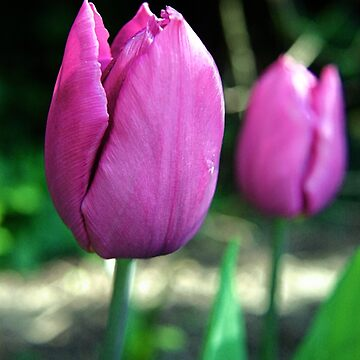 Pink Tulip Flowers by InspiraImage