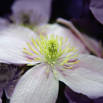Pink Clematis flower by InspiraImage