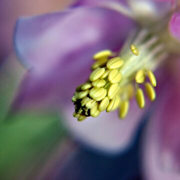 Purple Aquilegia flower by InspiraImage
