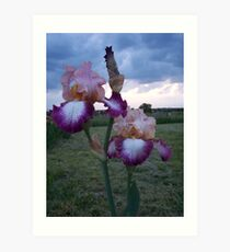 fancy Iris Art Print
