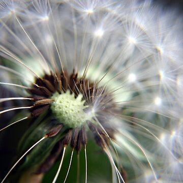 Dandelion Seeds by InspiraImage