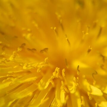 Yellow dandelion flower macro  by InspiraImage