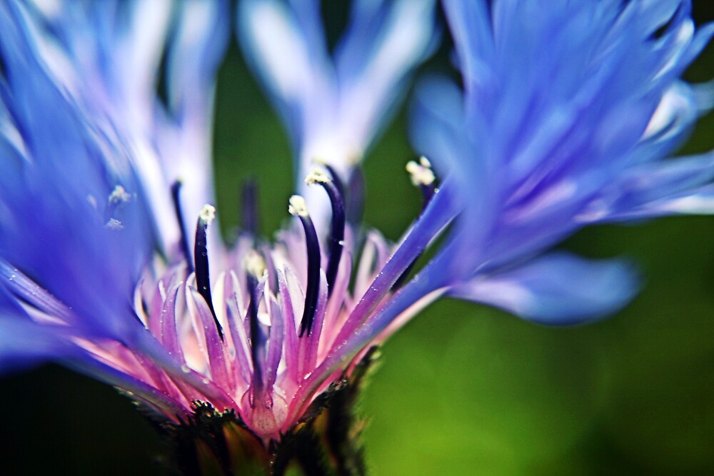 Cornflower Floral Macro Art by Vicki Field