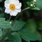 Japanese Anenome by Nerone