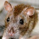 Zafia the brown eyed rat by shoshanah