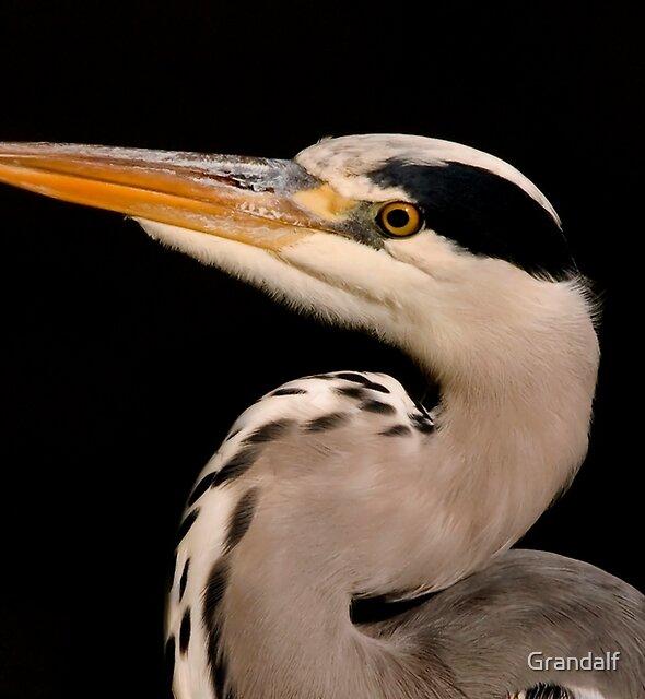 grey heron by Grandalf