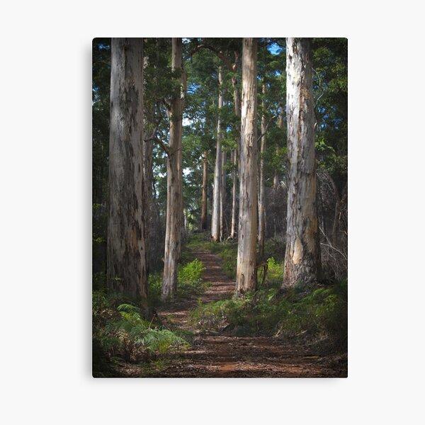 karri forest - pemberton, wa Canvas Print