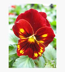 Flammable Pansy Photographic Print