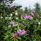 Rhododendron Morning Oregon Cascades by Charles & Patricia   Harkins ~ Picture Oregon