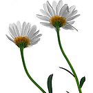 Daisies by Gerry Chaney