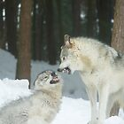 Timber wolves at play by Josef Pittner