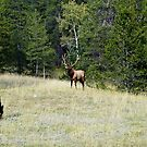 The Warden - Bull Elk and Cow by paolo1955