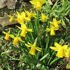 Miniature Daffodils (Narcissus) by lezvee