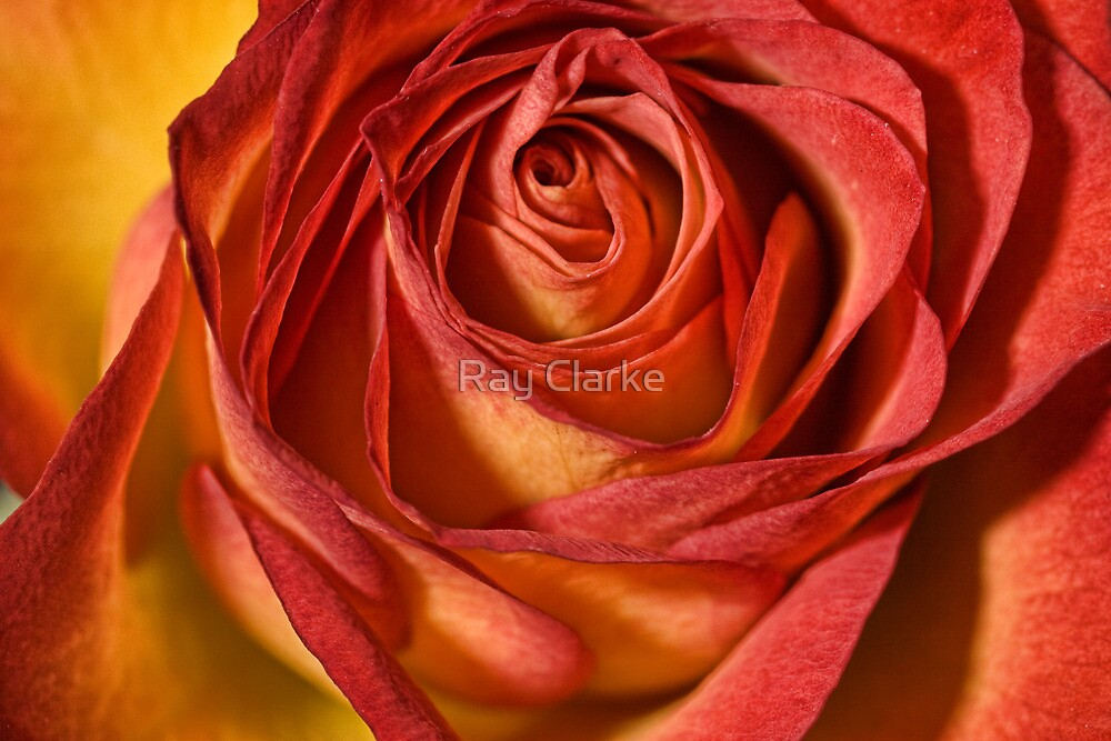 Just a Rose by Ray Clarke
