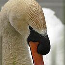 Mute Swan - Cygnus olor by Tracey  Dryka