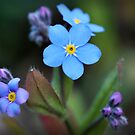 forget me not by dinghysailor1