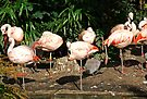 Flamingo Colony by Ryan Davison Crisp