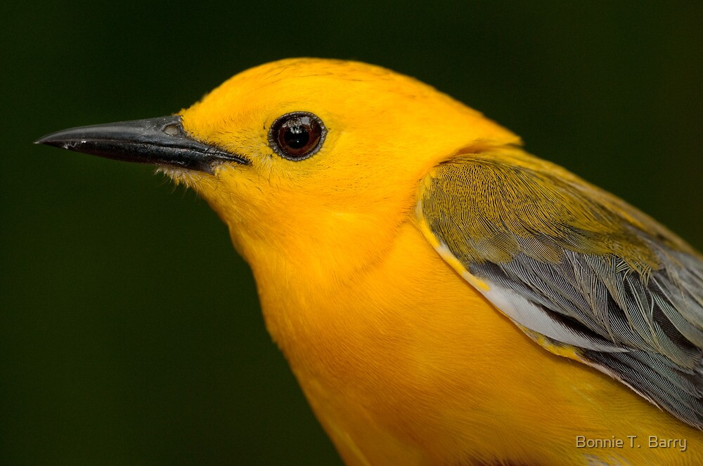 Prothonotary Warbler by Bonnie T.  Barry