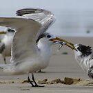 Little Tern by Trish Threlfall