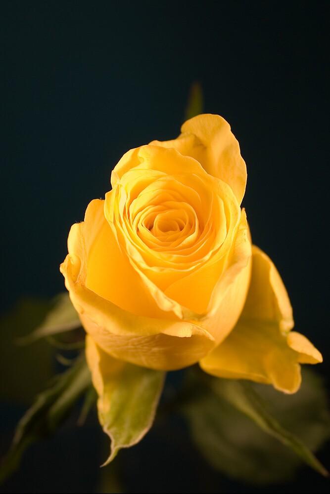 A Single Yellow Rose by FlashGordon666