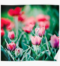 Tulips... Poster
