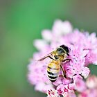 Bee in Statice by imaginethis