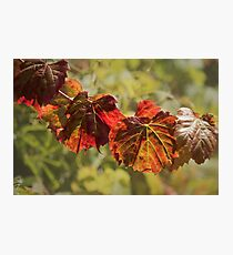 Grape Vine Leaves Photographic Print