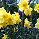 Daffodils in Spring by Camelot