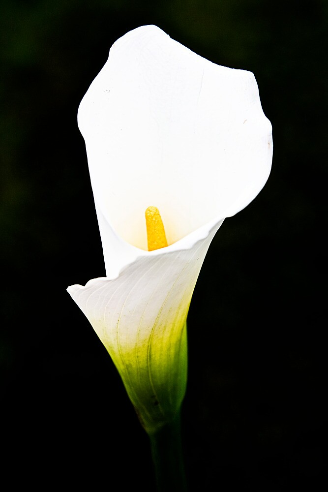 A Gift of Calla Lily by Tim Mannle