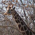 Giraffe by Snowkitten