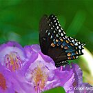 Spicebush Swallowtail by GraceNotes