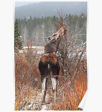 Grazing moose (Alces alces) Poster