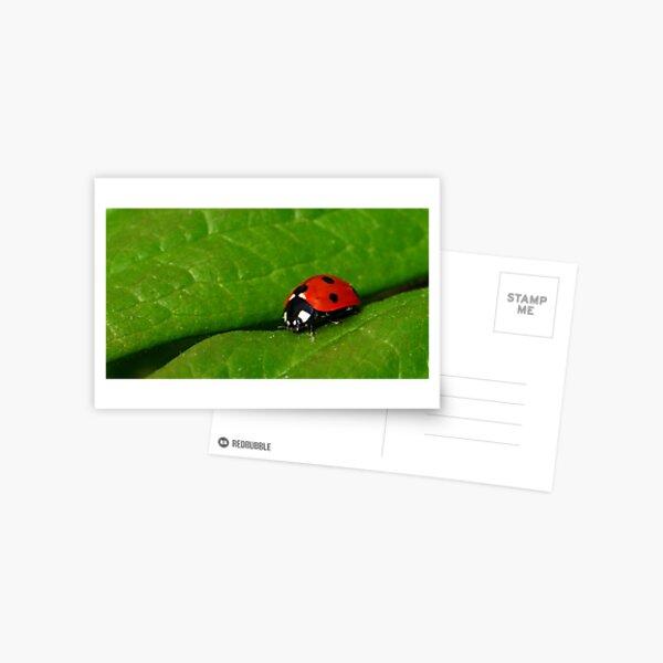 Ladybird Beetle Postcard