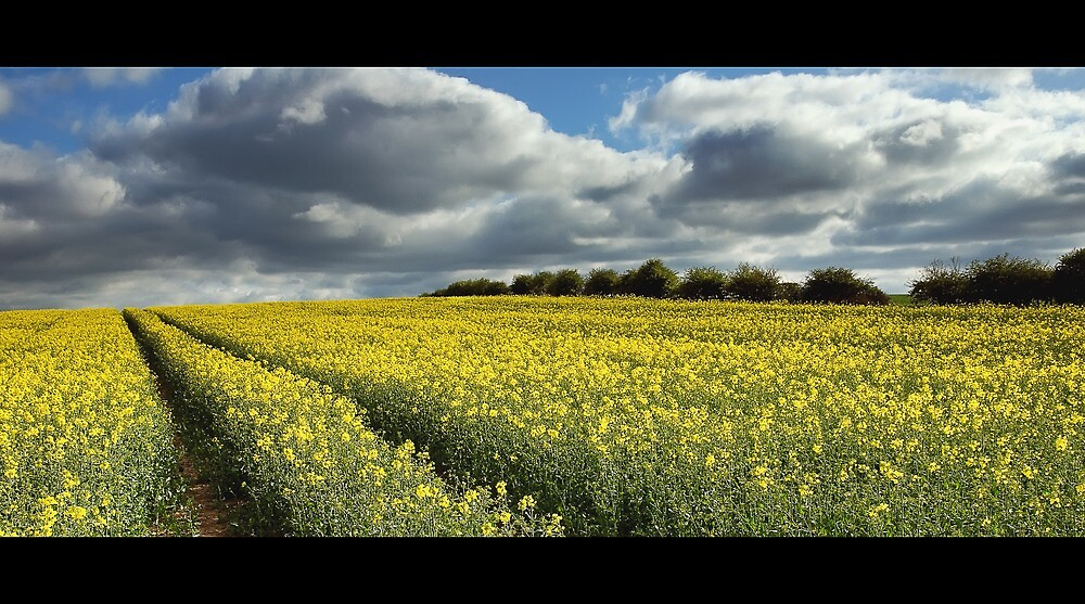 Rape field by james  thow