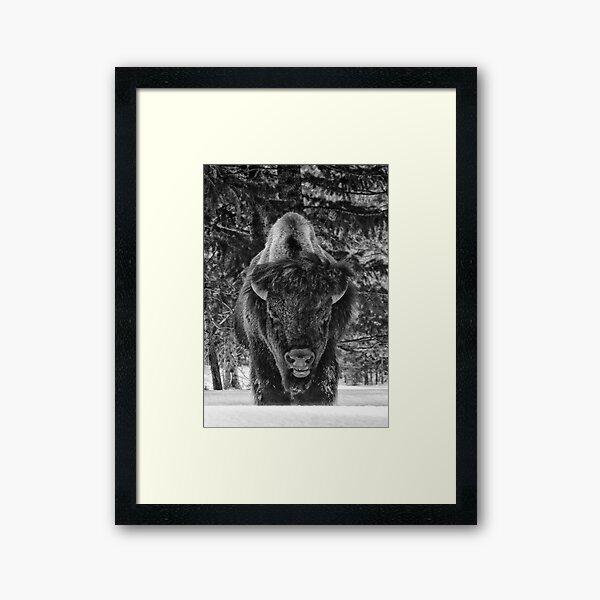 Buffalo in the Snow Impression encadrée