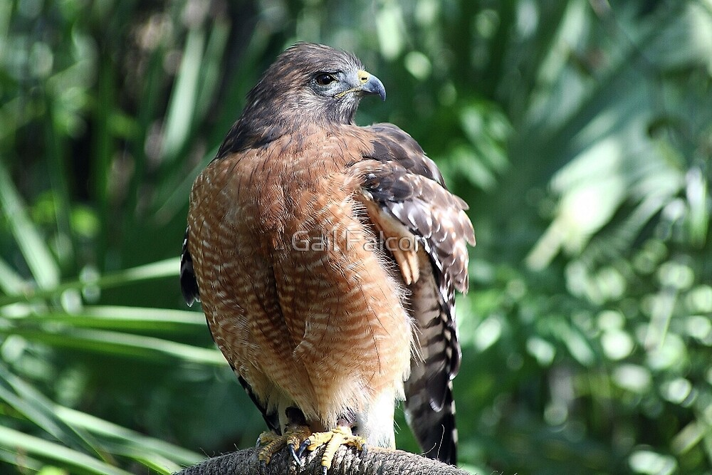 Red Shouldered Hawk by Gail Falcon
