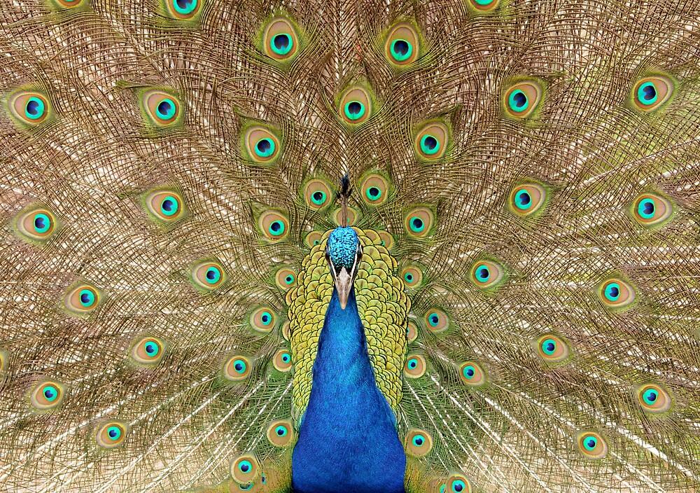 Peacock Displaying Feathers (head on) by Richard Heeks